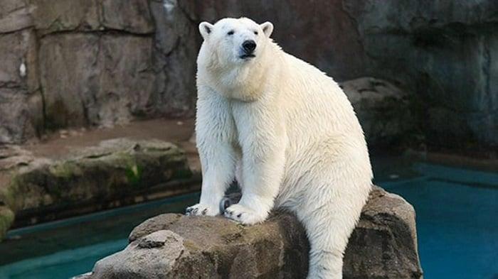 Lincoln Park Zoo em Chicago: urso polar