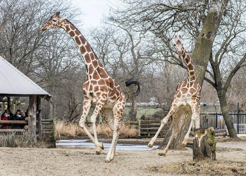 Girafas no Zoológico Brookfield perto de Chicago